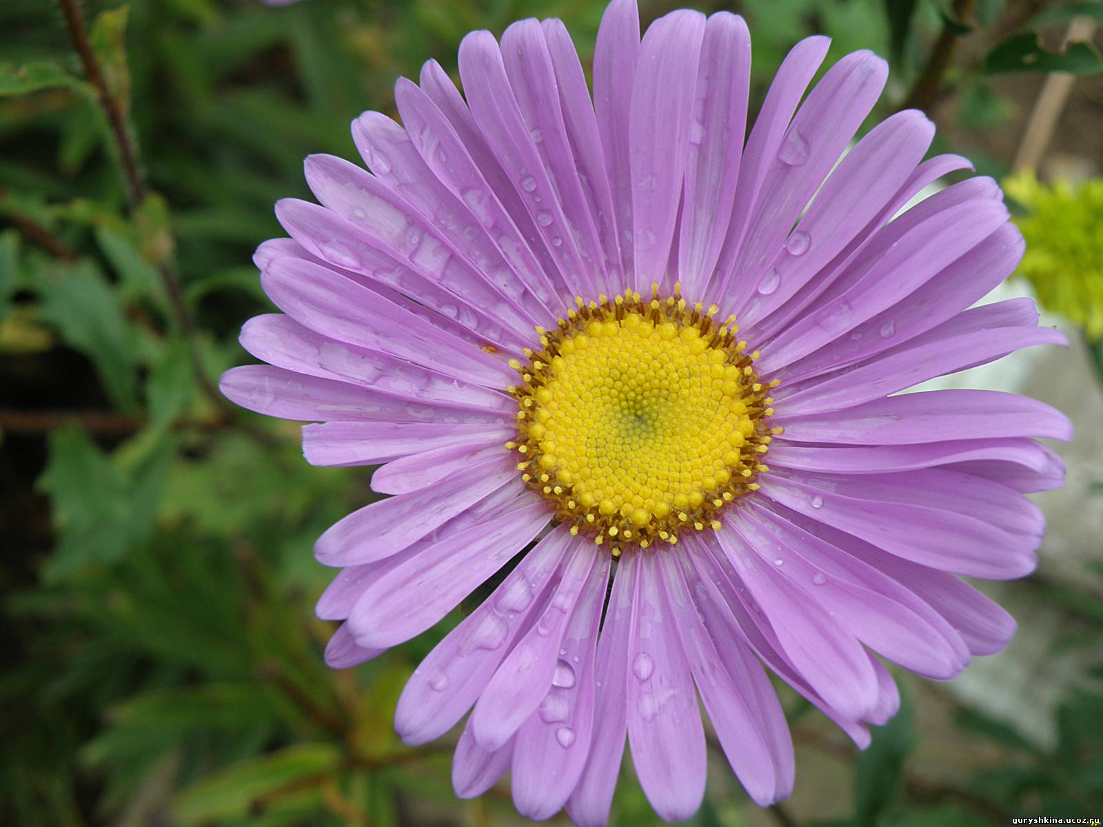 фонтан фиолетовая ромашка название и фото раз увидев роскошное